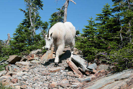 Scotchman peak mountain goats near Sandpoint Idaho